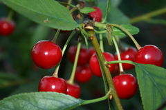 Cherry tree. Ripe cherries on a tree Royalty Free Stock Photo