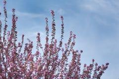 Cherry Tree Fotografía de archivo libre de regalías