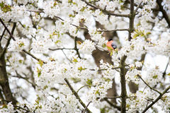 Cherry Tree Lizenzfreies Stockbild