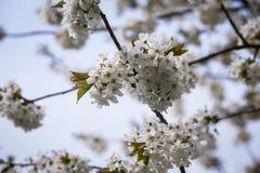 Cherry Tree Stockfotografie