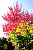 Cherry Tree Photos libres de droits