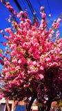 Cherry Tree foto de stock