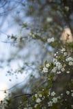 Cherry Tree imagem de stock royalty free