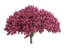 Cherry_tree Royalty Free Stock Image