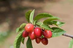 Cherry Tree Stock Photography