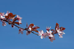 Cherry tree against a blue sky Stock Image