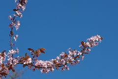 Cherry tree against a blue sky. Stock Images