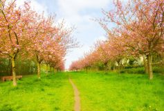 Cherry Tree Alley Stockbilder