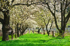 Cherry tree alley in bloom Royalty Free Stock Photography