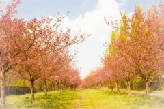 Cherry Tree Alley Royalty Free Stock Images