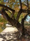 Cherry tree in autumn Stock Photography
