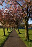 Cherry Tree Avenue. An avenue of flowering cherry trees, taken in very early moring in Spring Stock Photography