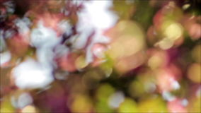 Cherry tree in a backyard at sunset abstract blurred background. Pink and green stock video