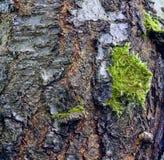 Cherry Tree Bark Imagen de archivo