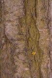Cherry tree bark Stock Image
