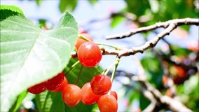 Fresh, ripe, red, delicious cherries on a cherry tree. Cherry tree branches and leaves sway from the blowing wind. Close up video. A cherry tree bearing red and stock video footage