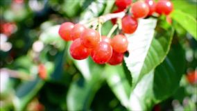 Fresh, ripe, red, delicious cherries on a cherry tree. Cherry tree branches and leaves sway from the blowing wind. Close up video. A cherry tree bearing red and stock footage