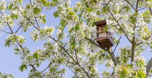 Cherry tree with a birdhouse. Blossoming cherry tree with a birdhouse in front of a blue sky Royalty Free Stock Image