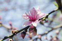 Cherry Tree blommor, Cherry Blossom Festival, Georgia USA Arkivfoton