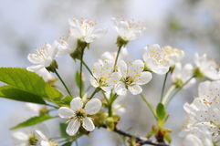 Cherry tree in bloom Royalty Free Stock Photos