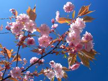 Cherry tree in bloom. Branch of cherry tree in bloom Stock Photo
