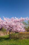 Cherry tree in bloom Stock Images