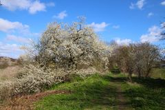 Cherry tree in bloom on an avenue. In a lovely day in sprigtime Royalty Free Stock Photography