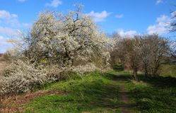 Cherry tree in bloom on an avenue. In a lovely day in sprigtime Royalty Free Stock Photo