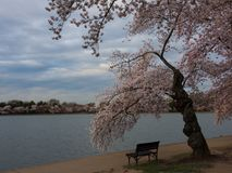 Cherry tree in bloom on bank of tidal basin Washington DC Stock Photos