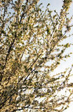 Cherry tree in bloom Stock Photography