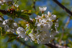 A cherry tree in bloom. A close up of a cherry tree Royalty Free Stock Images