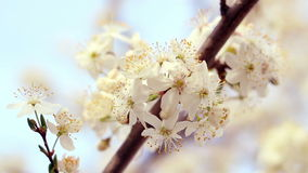 Cherry tree bloom. Closeup. Delicate cherry flowers in sun light. Flowers blossom on cherry tree. Branch of cherry blossoming in sunlight. Macro. Blossoming stock video footage