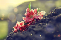 Cherry tree bloom Royalty Free Stock Photography