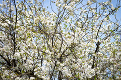 Cherry tree in bloom Royalty Free Stock Image