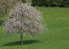 Cherry tree in bloom in Meadow green Stock Photography