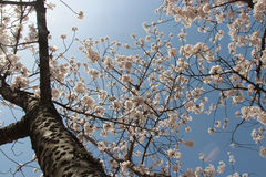 A cherry tree is in bloom in a park in Amanohashidate (Japan) Royalty Free Stock Image