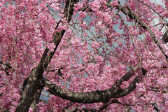 A cherry tree is in bloom in a park in Kyoto (Japan) Stock Photo