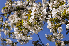 Cherry-tree bloom. Royalty Free Stock Image