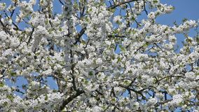 Cherry tree in bloom Royalty Free Stock Photography