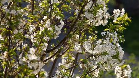 Cherry tree in bloom stock footage