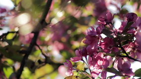 Cherry tree blooming in a backyard at sunset. Closeup stock video footage