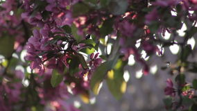 Cherry tree blooming in a backyard at sunset. Closeup stock footage