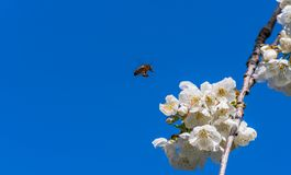 Cherry tree blooming with the bee in flight royalty free stock images