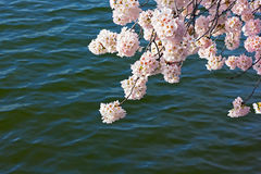 Cherry tree blooming branch against the waters of tidal Basin in Washington DC, USA. Stock Photography