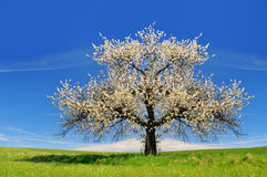 Cherry tree. Blooming cherry tree on the  meadow Royalty Free Stock Photography