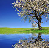 Cherry tree. Blooming cherry tree mirrored on water level Royalty Free Stock Photo