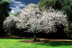 Cherry tree blooming in the park. Beautiful cherry tree in bloom highlighted by blue skies billowing clouds and green foliage Stock Images