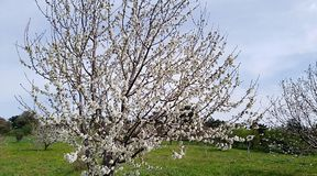Blooming tree. Cherry tree blooming in the spring royalty free stock photography
