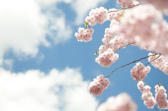 Cherry tree blooming in spring Stock Images