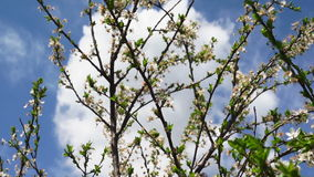 Cherry Tree Blooming In The Spring Normal. Cherry Tree With Cherry Petals And Flowers In The Spring stock video